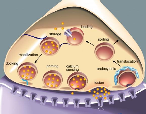 Besikula sinaptikoek nerbio-bulkadaren transmisioan parte hartzen dute