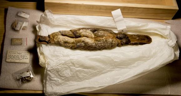 1799ko ale ospetsua, Natur Zientzietako Museoan lastoztatua