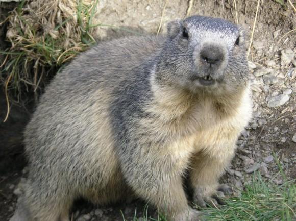 Marmota alpetarra (Wikipedia)