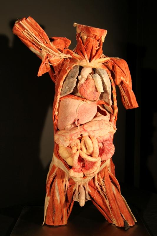 Giza soinaren plastinazioa, bere organo guztiak agerian dituela (Irudia: Eureka! Zientzia Museoa)