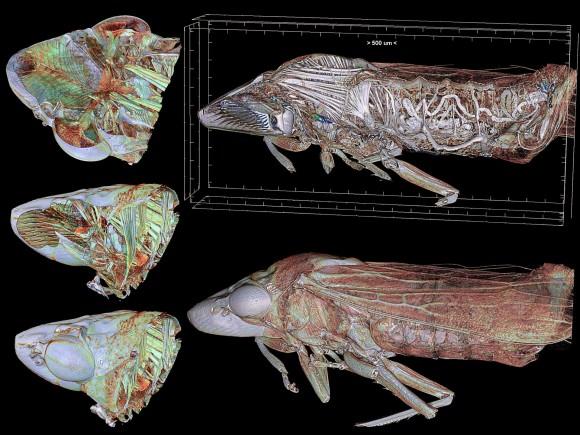 Homalodisca vitripennis kristalezko hegalen txitxartxoaren irudia, mikrotomografiaz aterata.