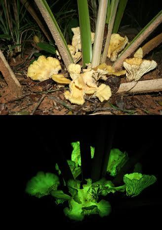 Irudia: Neonothopanus gardneri onddo espeziea Brasilgo baso batean, egunez eta gauez. (Argazkia: Michele P. Verderane / IP-USP-2008)