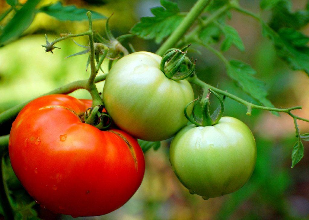 Tomateak, lurreko kutsatzaile metalikoetatik salbu