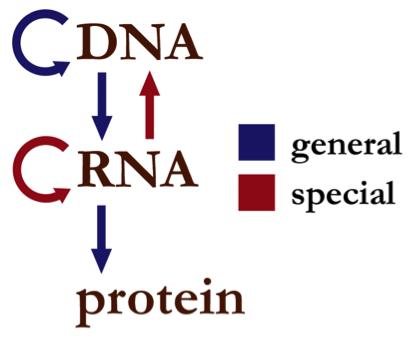 2. irudia: Informazio genetikoaren norabidea, Narayanesek egina. (Argazkia: Domeinu publikokoa, Wikimediaren bidez.)