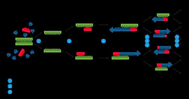 3. irudia: Polimerasaren kate-erreakzioaren eskema, Enzoklopek egina. (Argazkia: CC BY-SA 3.0 lizentziapean, Wikimediaren bidez.)