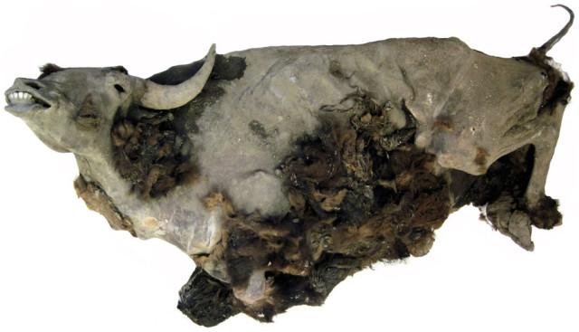 3. irudia: Chkchalakh lakuaren ekialdean aurkitutako bisonte izoztua. Kanpo gorputzaren egitura osorik dago, muturra, belarriak, buztana, eta genitalak barne. Barne organoak ere ondo kontserbatu dira, eta digestio-traktuko, sabeleko eta hesteetako edukiak ere aurkitu dira.