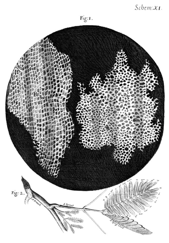 Irudia: Kortxoaren egituraren irudia mikroskopioaz, Robert Hookek egina. Zelula izena irudian ikus daitezkeen gelatxoetatik dator, latinez cellulae. (Argazkia: Wikipedia / Public Domain)