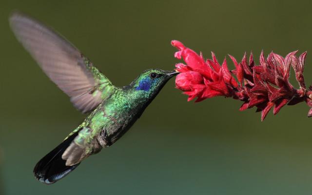 erle-kolibria
