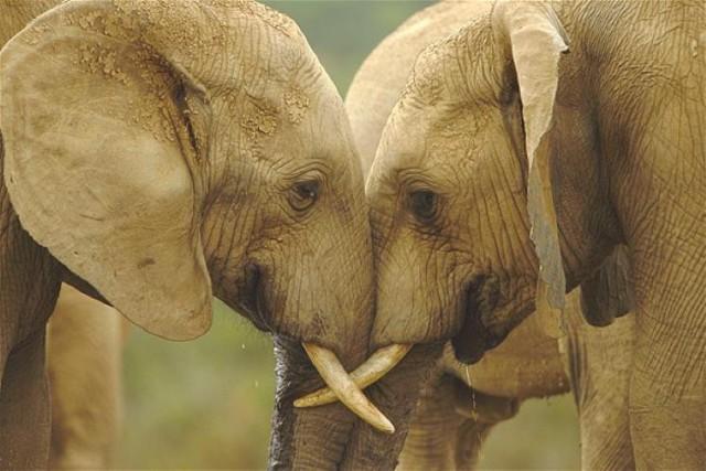 elefantearen belarriak