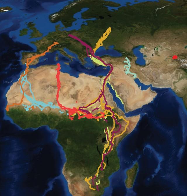 2. irudia: Aztertu dituzten zortzi zikoina populazioen migrazio mapa. Uzbekistan eta Armeniakoek egiten dute, nabarmen, ibilbide laburrena. (Argazkia: Andrea Flack et al.)