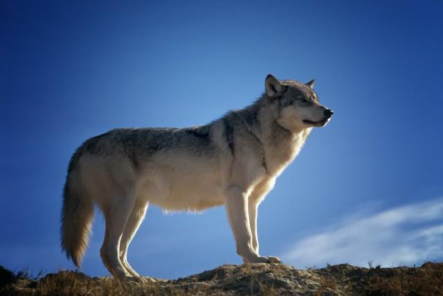 wolf-142173_1280