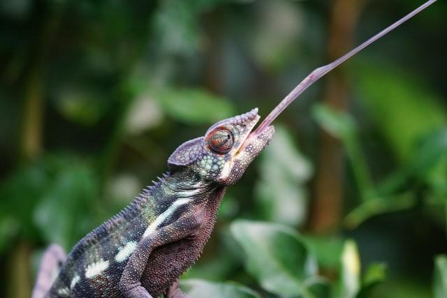 chameleon-1154457_1280