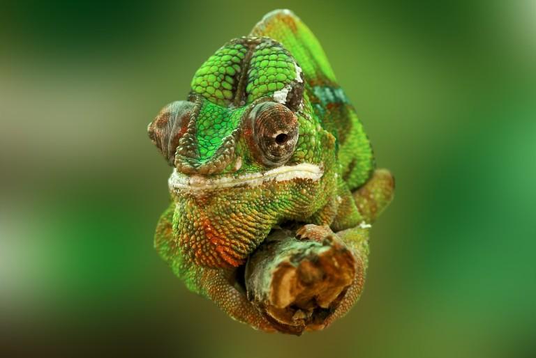 Kameleoien trikimailua