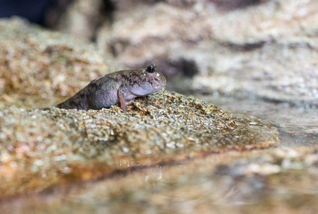 1. irudia: Periophtalmus generoko arrain urlehortar bat. (Argazkia: Rob Felt, Georgia Tech)