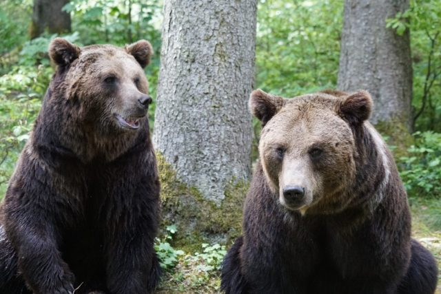brown-bears-870549_1280