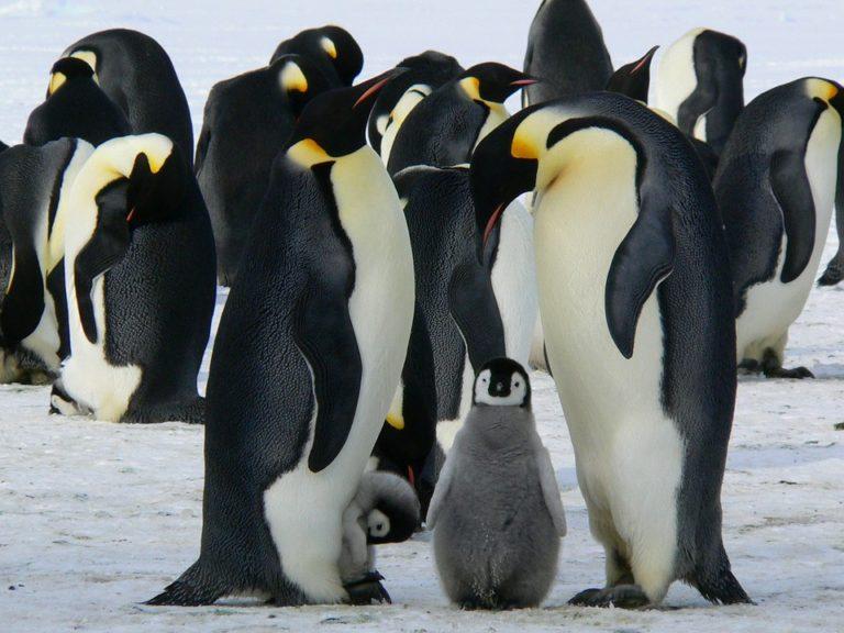 Pinguino enperadorearen bizitza harrigarria