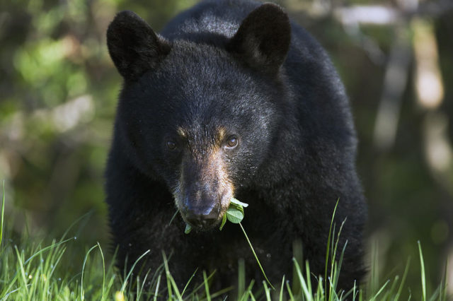 2. irudia: Black Bear, Ursus Americanus, Forillon is a photograph by Philippe Henry which was uploaded on June 4th, 2012.