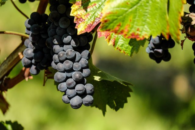 grapes-1696921_1280