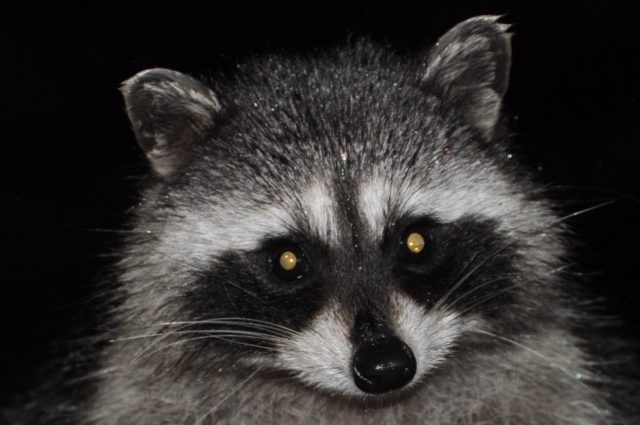 raccoon-1271370_1280