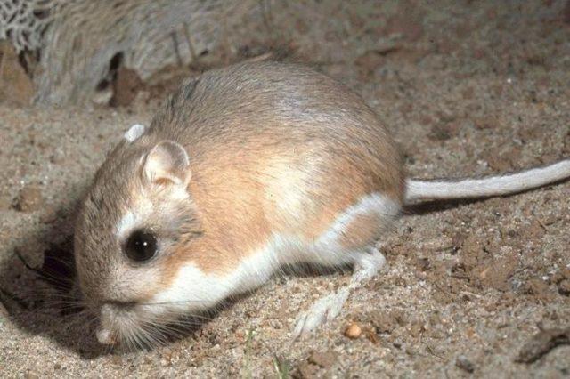 1. irudia: Dipodomys Heteromyidae familiako kanguru-arratoia, karraskarien barruan sailkatzen den animalia. Argazkia: Wikipedia. Domeinu publikoa)