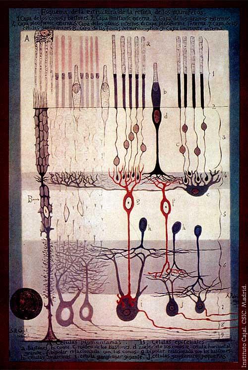 """1. irudia: Santiago Ramon y Cajalek egindako ilustrazioetako bat, 1900. urtean argitaratu zuen """"La retina de los Mamíferos"""" liburuan publikatua. (Argazkia: Wikipedia)"""