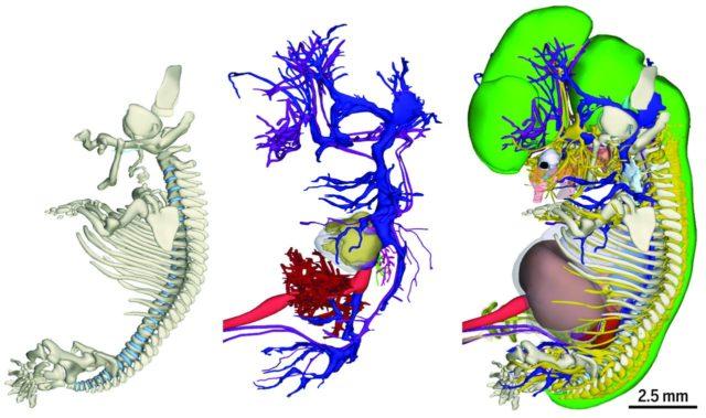 Irudia: Ezkerretik eskuinera, enbrioiaren eskeleto sistema, sistema kardiobaskularra, eta azala ez beste organo guztiak. (Argazkia: Bernadette S. de Bakker et al.)
