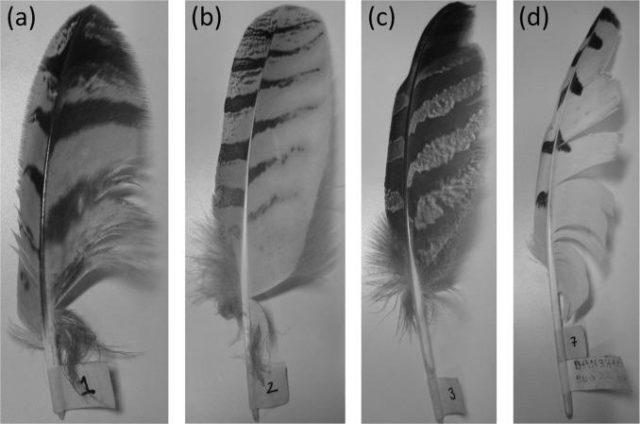 2. irudia: Bubo bubo, Strix nebulosi eta Bubo scandiacus hontzen lumak ageri dira hemen. (Argazkia: Ian A. Clark et al.)