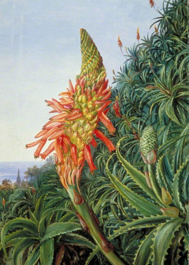 4. irudia: 1875. urtean Tenerifen egindako ilustrazioa. Aloe Vera landarea loretan.