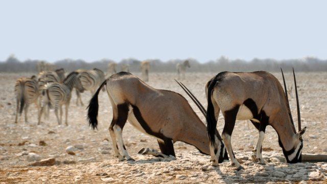 2. irudia: Oryxak zulo handiak egiten ditzake landareen sustraietako ur-edukia xurgatzeko edo tuberkuluak eskuratzeko.