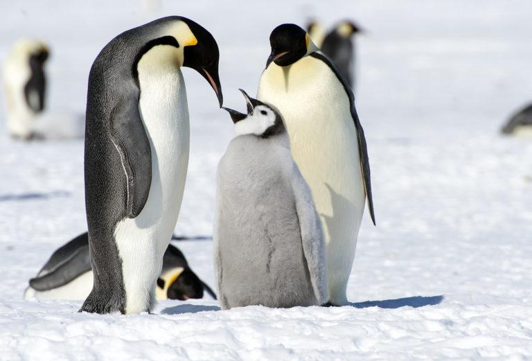 Pinguino enperadorea berriro
