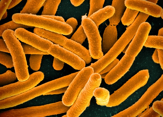 Minbiziari lotutako bakterio baten estrategia, agerian
