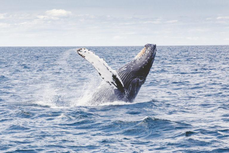 Baleen migrazioak oroimenean du oinarri, eta oso aspaldikoa da