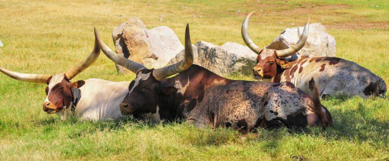 Behi afrikarren etxekotzearen gene-aztarnak