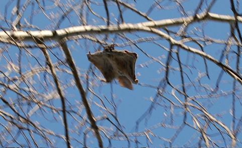 Urtxintxa hegalari arrosatik Tasmaniako deabrura