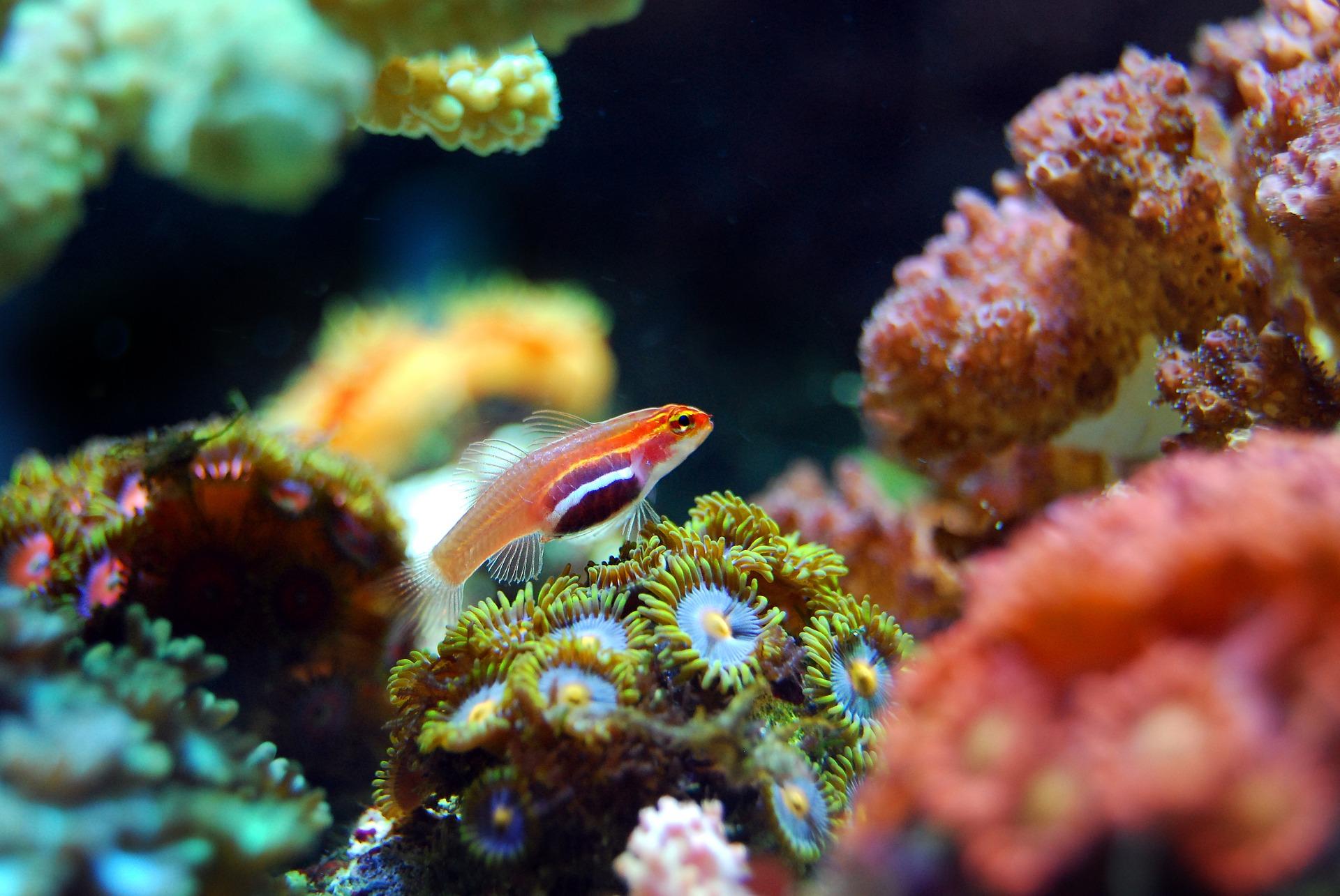 koralak